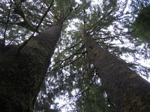 MF-trees2